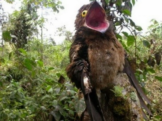 This is a potoo. Nature is weird.